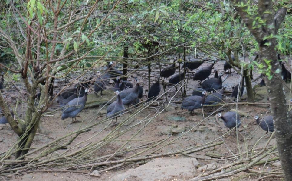 Đàn chim trĩ trong trang trại của chị Trương Thị Tố Hoa được nuôi hoàn toàn bằng cám thảo dược.
