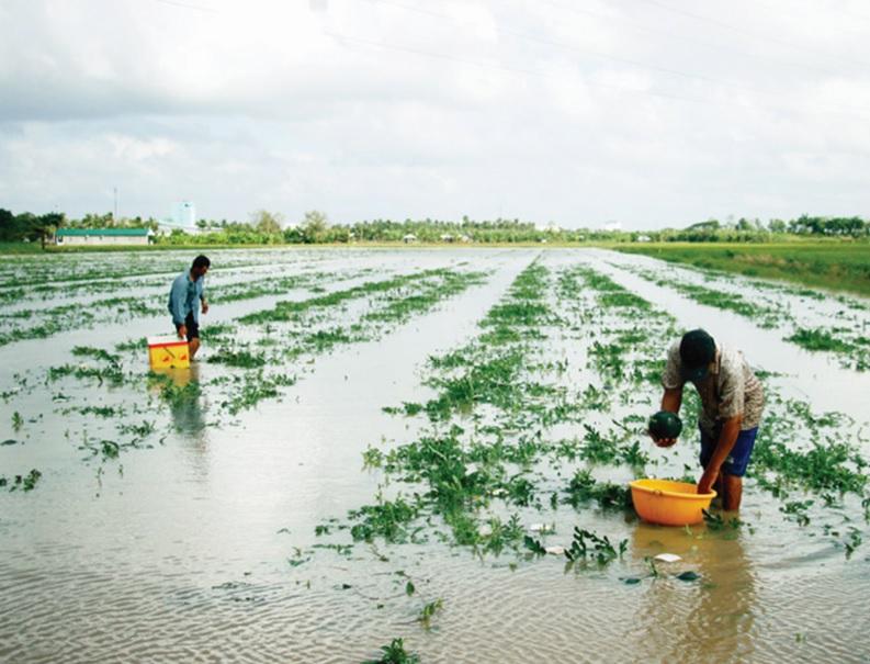 Mưa bão khiến nhiều ruộng dưa của nông dân xã Lý Văn Lâm bị mất trắng.