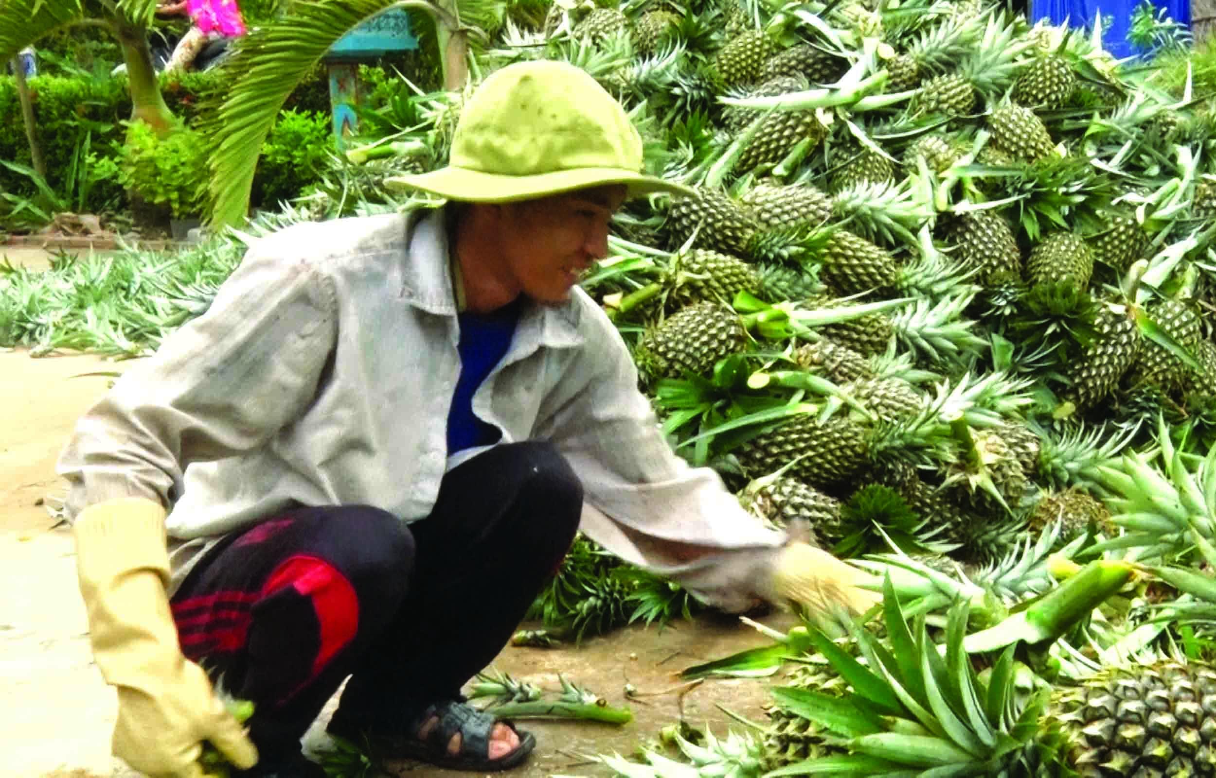 Nông dân xã Vĩnh Phước A thu hoạch khóm.