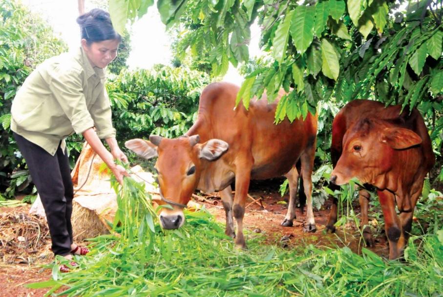 Những con bò giống từ Chương trình 135 giúp nhiều người dân ở Chư Păh thoát nghèo.