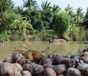 Giá dừa khô