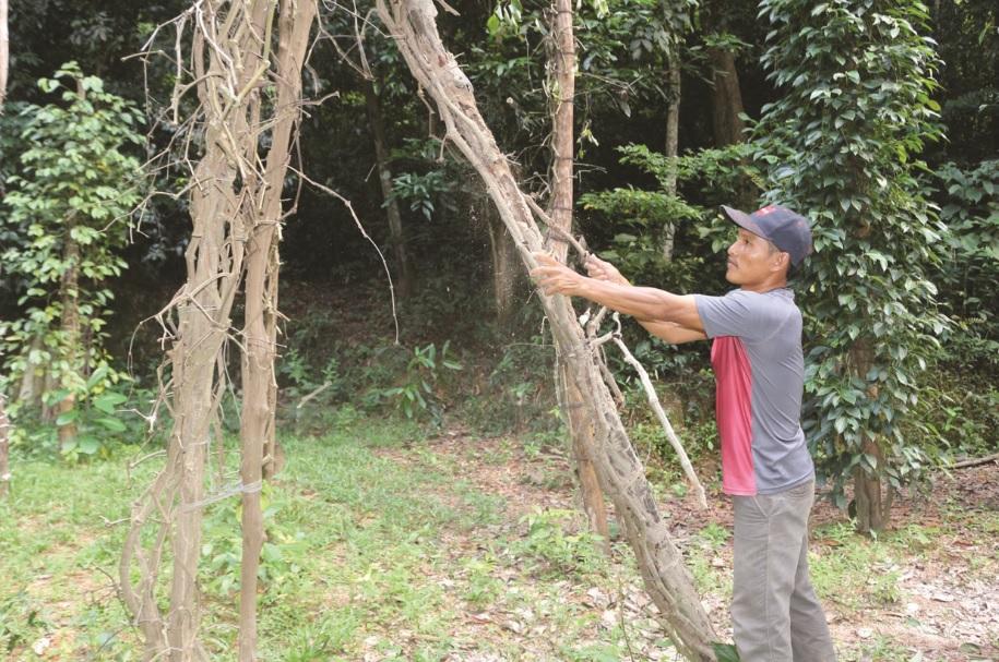 Anh Danh Thi, ấp Hòn Trẹm, xã Bình An, huyện Kiên Lương thu dọn những bụi tiêu của gia đình bị chết.