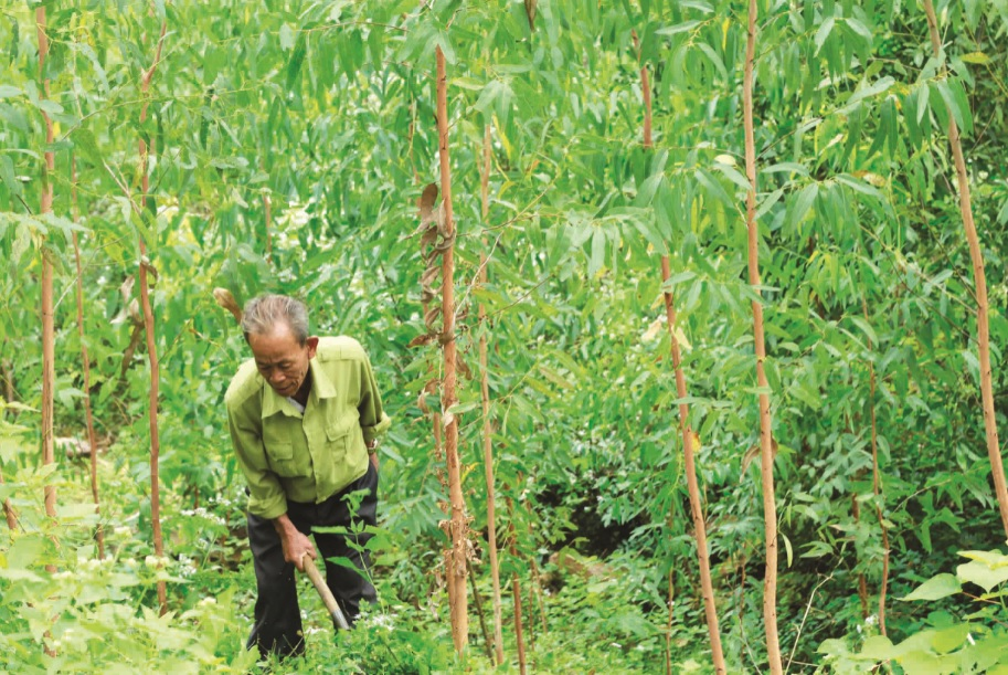 Ông Hồ Hờn đang chăm sóc rừng trồng.