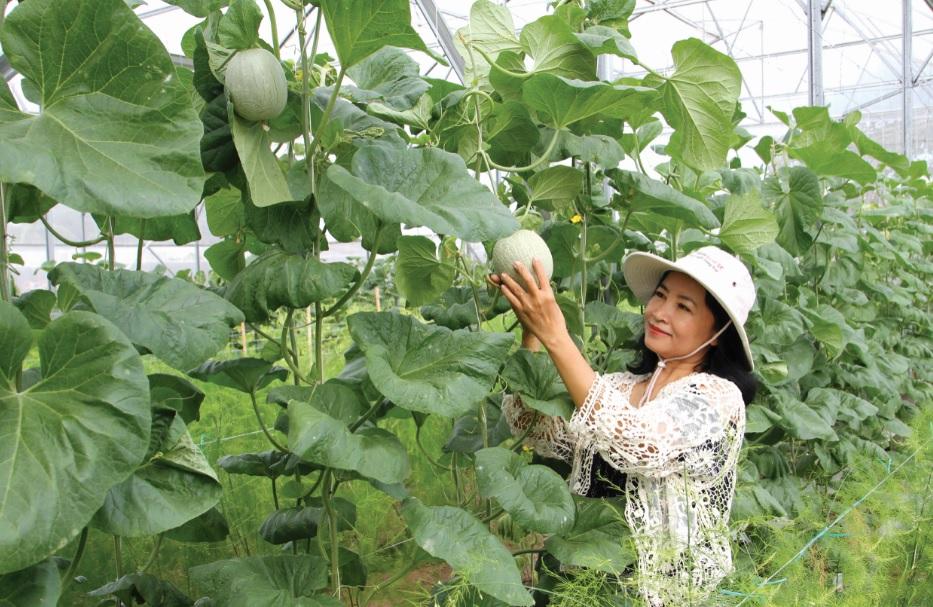 Chị Đàng Thuận Khánh Ly chăm sóc dưa lưới thu hoạch vào dịp Tết Nguyên đán Kỷ Hợi- 2019.