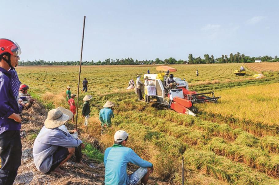 Nông dân miền Tây đứng ngồi không yên vì giá lúa rớt từng ngày.