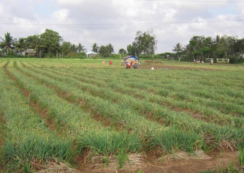 Ruộng hành tím áp dụng quy trình sản xuất VietGAP của Hợp tác xã hành tím Vĩnh Châu phát triển tốt.