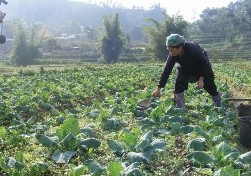 Người Tày thôn Na Lo, xã Tà Chải trồng rau sạch vụ Tết Kỷ Hợi 2019.