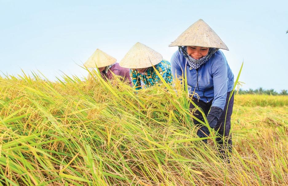Thu hoạch lúa trên nền đất nuôi tôm của ông Phạm Thanh Quang, ấp An Hòa, xã Gia Hòa 2, huyện Mỹ Xuyên.