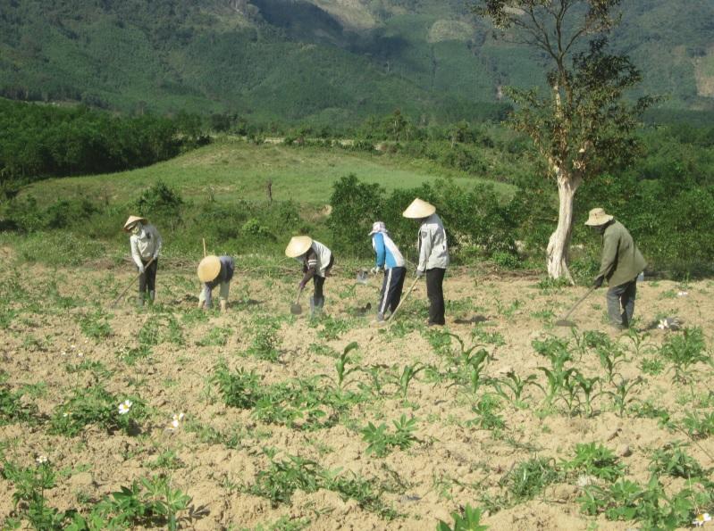 Nhiều diện tích đất trồng keo trên địa bàn tỉnh Phú Yên trước đây giờ đã chuyển sang trồng sắn.
