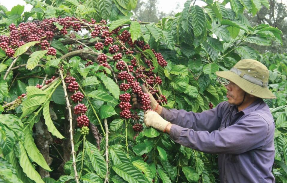 Nông dân thu hái cà phê.
