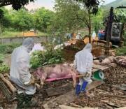 Nhiều giải pháp ngăn chặn dịch tả lợn châu Phi