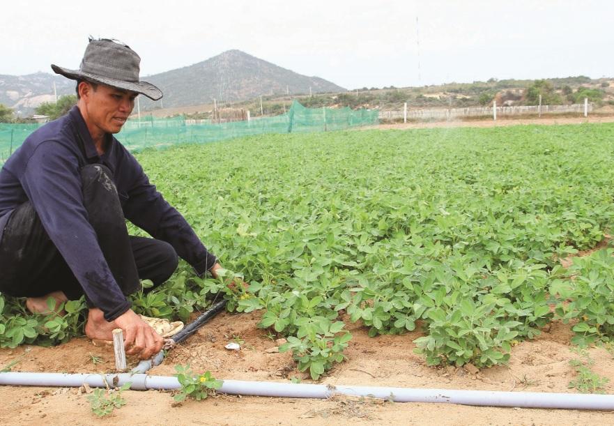 Các mô hình trồng hoa màu áp dụng tiến bộ KHKT đang mang lại lợi nhuận cao cho nông dân Ninh Thuận.