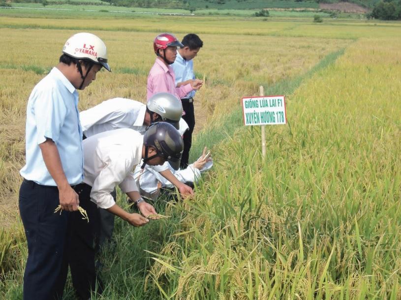 Mô hình trồng lúa sử dụng phân bón hữu cơ ở miền núi Phú Yên phát triển tốt.