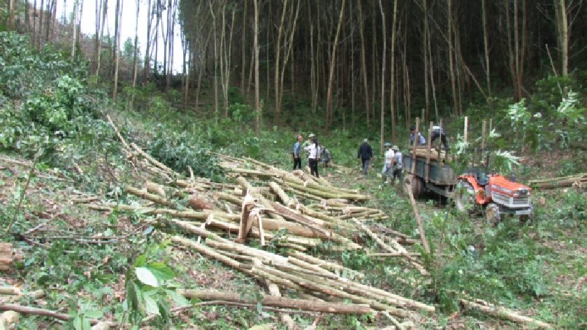 Keo chưa đủ tuổi nhưng vì khó khăn nên người dân phải bán non, thiệt hại kinh tế và ảnh hưởng đến kế hoạch trồng rừng gỗ lớn của ngành Nông nghiệp.