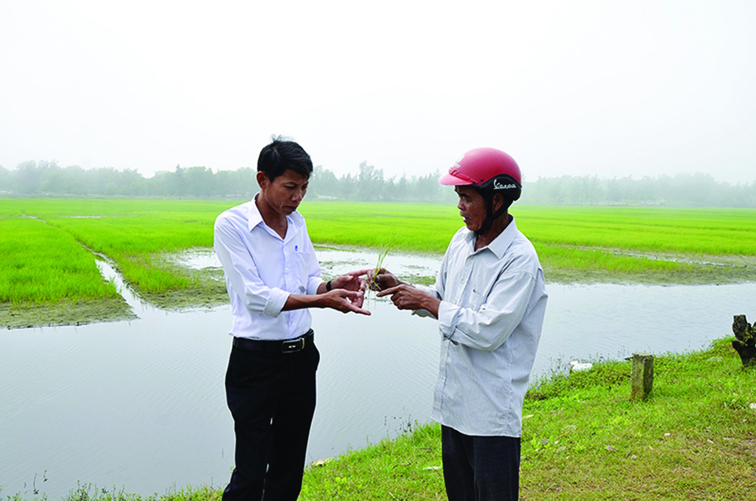 Nhiều diện tích lúa mới gieo cấy bị chết do nhiễm mặn.