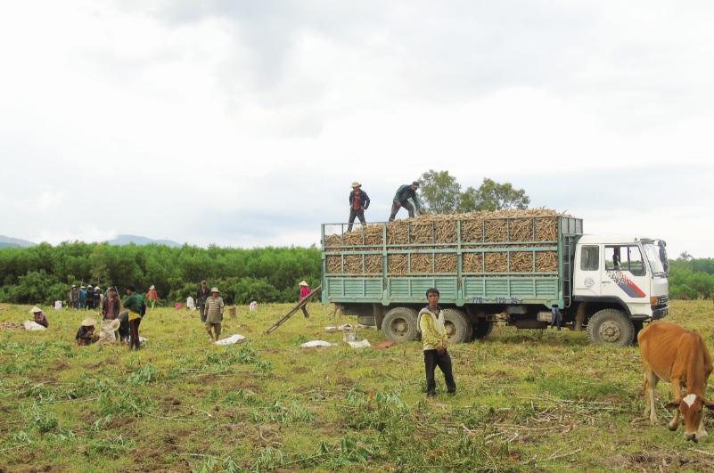 Nông dân huyện Hoài Ân đang thu hoạch mì bán cho nhà máy.