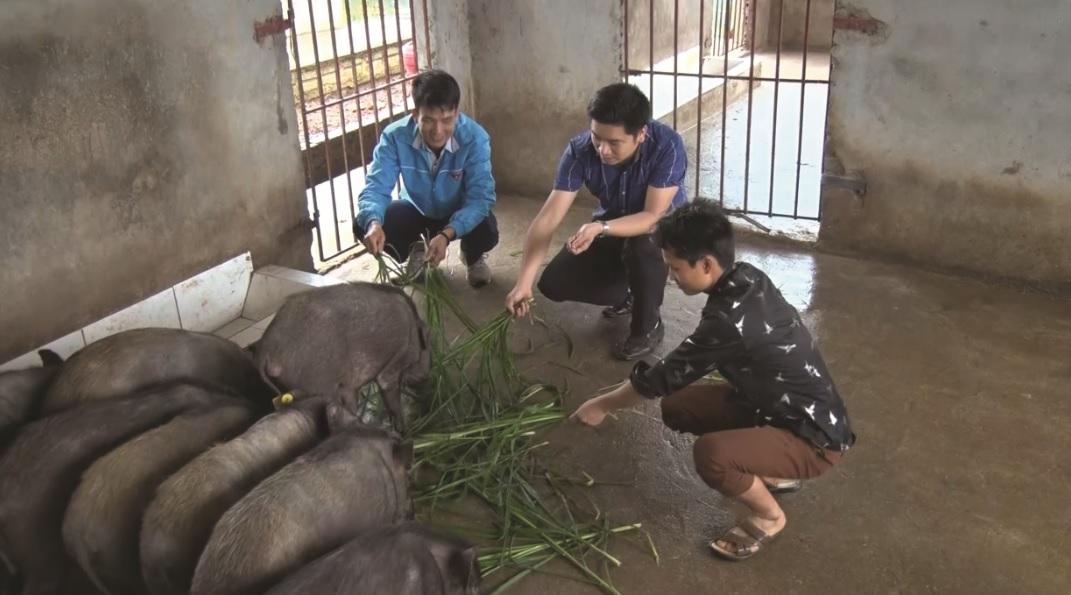 Sau hơn 1 năm, đến nay đàn lợn rừng của gia đình anh Hờ A Sênh đã phát triển lên 30 con.