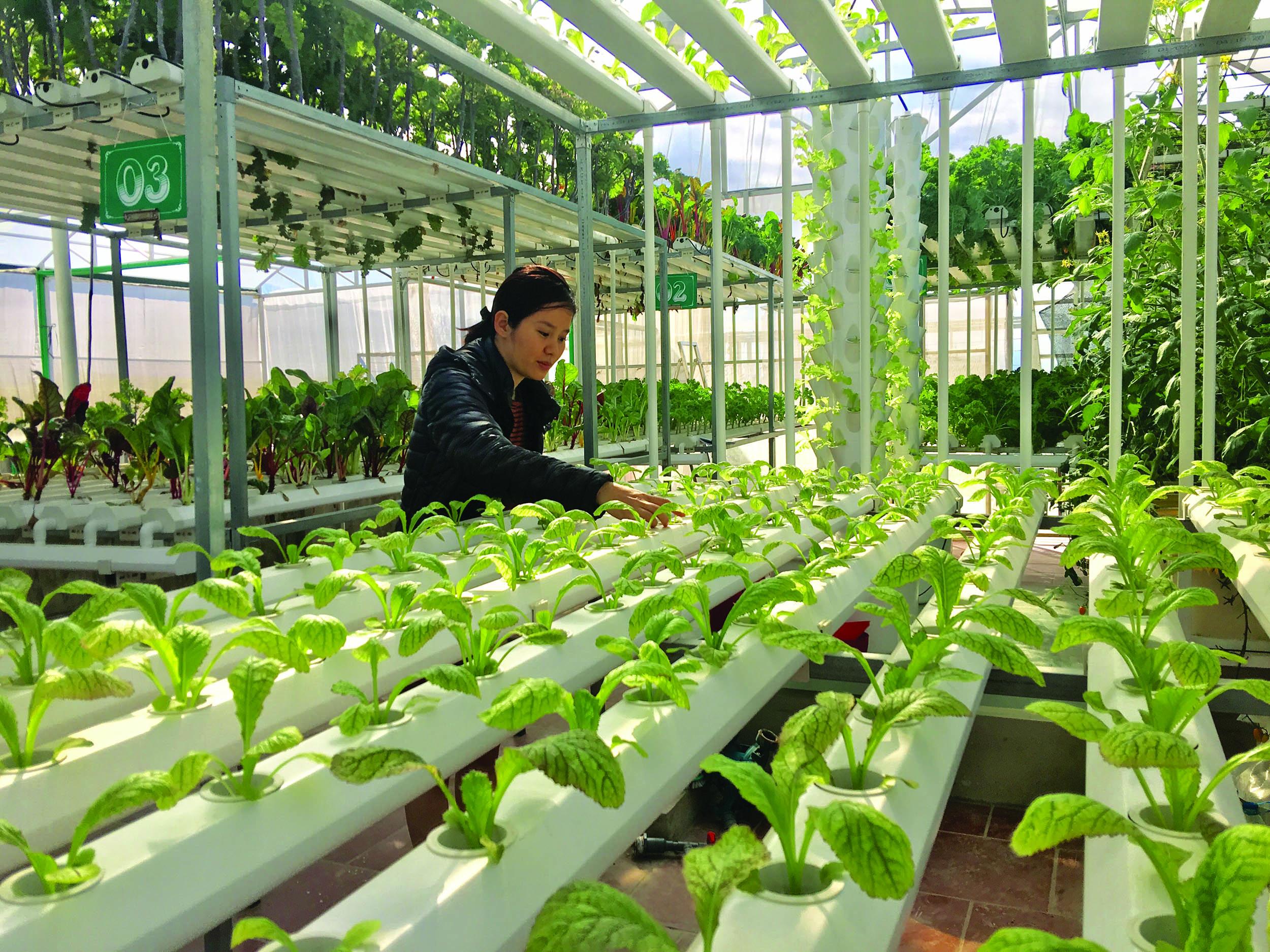 Mô hình trồng rau thủy canh trong nhà lưới đang phát triển tại Điện Biên.
