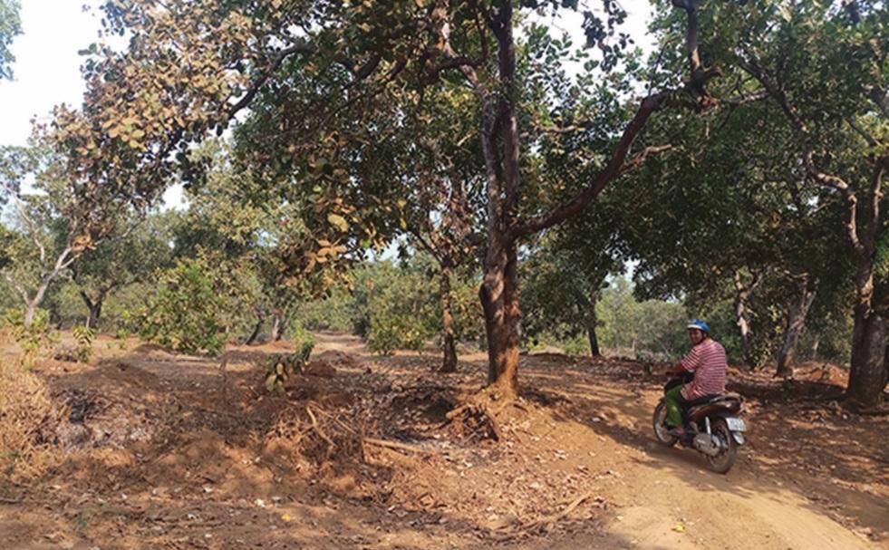 Một trong nhiều diện tích đất trồng điều người dân ở xã Bình Minh, huyện Bù Ðăng (Bình Phước) đã cầm cố để lấy tiền trả nợ.