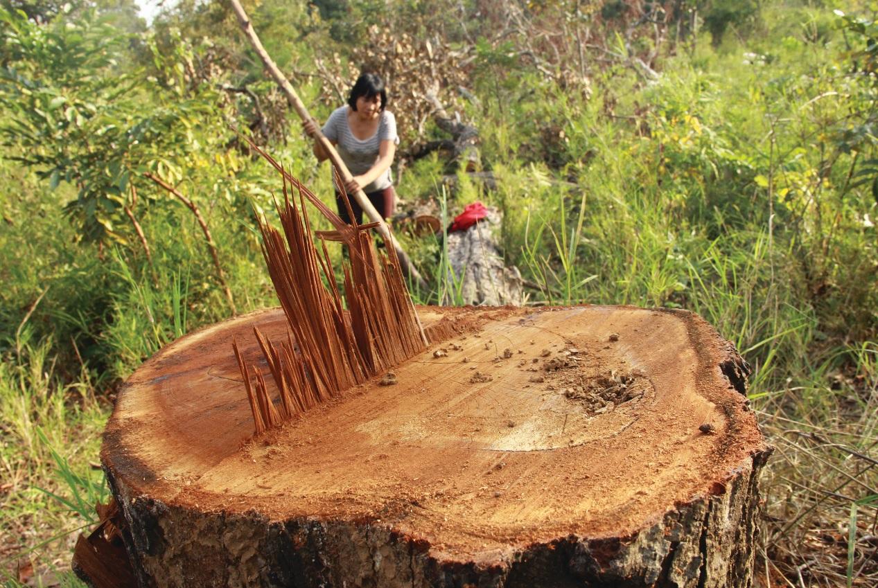 Những cây gỗ quý đường kính lớn bị cưa trộm.