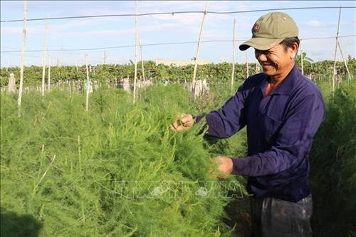Nông dân xã Xuân Hải (Ninh Hải, Ninh Thuận) trồng măng tây xanh cho hiệu quả kinh tế cao. Ảnh: Nguyễn Thành – TTXVN