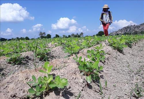 Trồng cây đậu phộng trên nền đất lúa ở xã Bắc Sơn (Thuận Bắc, Ninh Thuận). Ảnh: Nguyễn Thành – TTXVN