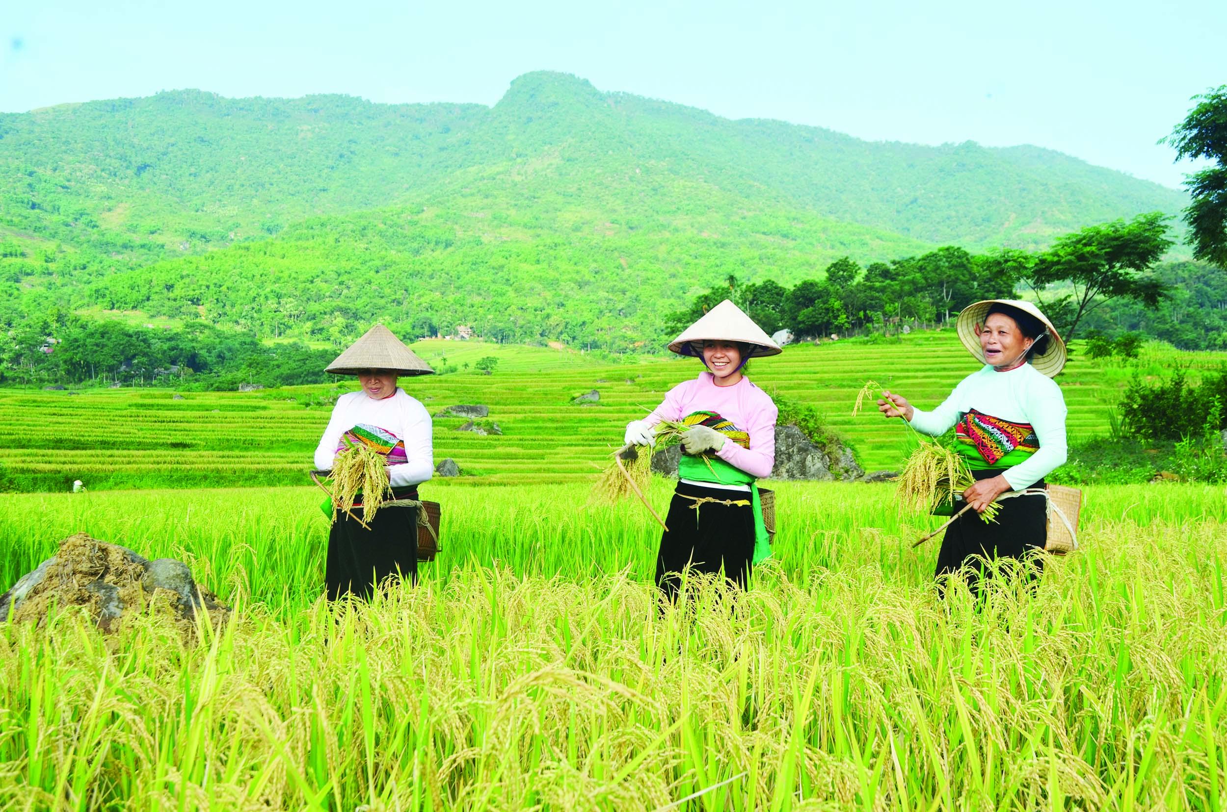 Sự hỗ trợ đắc lực của Nhà nước là động lực giúp người dân hăng say phát triển sản xuất. (Trong ảnh bà con dân tộc thu hoạch lúa tại xã Thành Lâm)