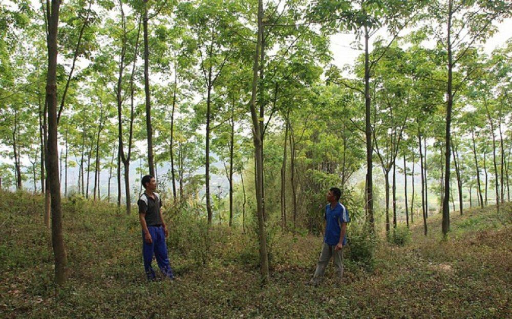Sau gần 10 năm góp đất trồng cao su, người dân Tây Bắc vẫn đau đáu câu hỏi: bao giờ cây cao su giúp họ thoát nghèo vươn lên khá giả? (Ảnh minh họa)