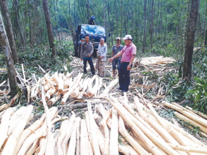 Người dân huyện miền núi Bình Định đang khai thác gỗ rừng trồng.