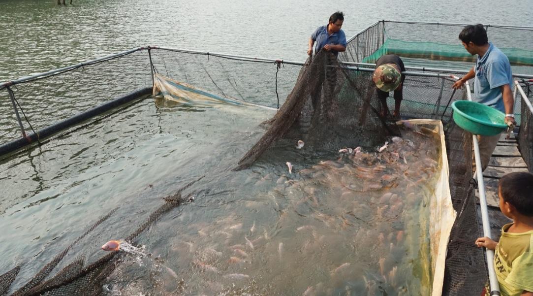 Lồng cá nuôi ở lòng hồ sông Sê San thu hoạch lứa đầu.