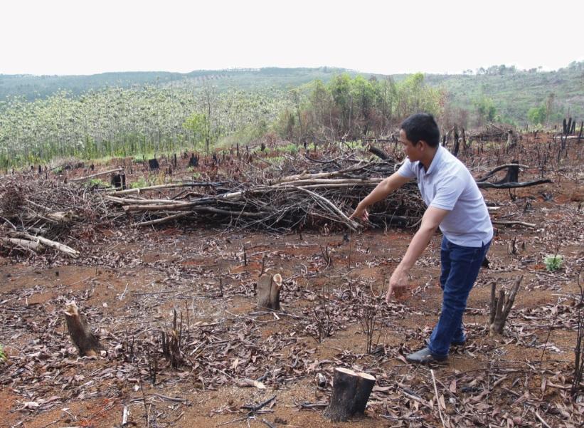 Những cây keo hơn 4 năm tuổi bị chặt hạ xếp thành đống tại khoảnh 2, Tiểu khu 1685. (Ảnh chụp ngày 17/4/2019)