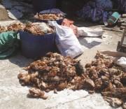 trại gà gây ô nhiễm