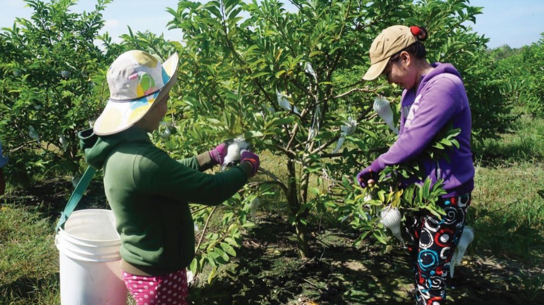 Trồng mãng cầu (na) cho thu nhập cao ở Tây Ninh.