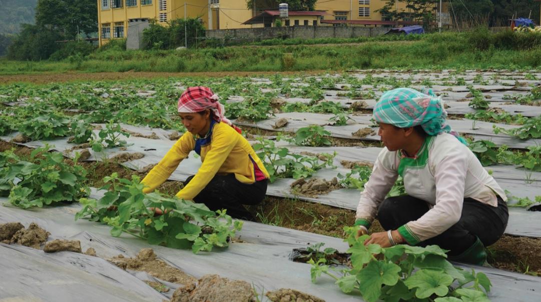 Dùng ni lông phủ mặt luống giúp giữ độ ẩm cho đất cũng như giảm thiểu sâu bệnh hại cây trồng.