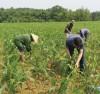 Bà con nông dân Lào Cai đang tích cực phòng trừ loài sâu hại này. Bà con nông dân Lào Cai đang tích cực phòng trừ loài sâu keo hại cây trồng.