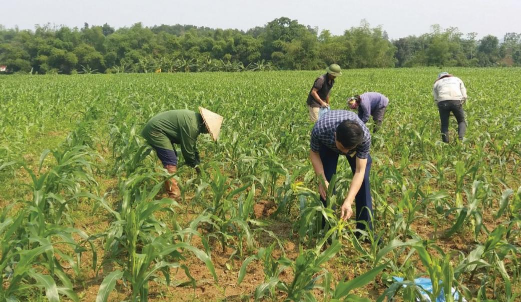 Bà con nông dân Lào Cai đang tích cực phòng trừ loài sâu hại này.