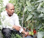 Già làng Klong Ba giới thiệu mô hình trồng cà chua mang lại hiệu quả cao.