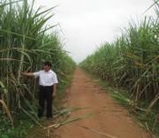 Cây mía góp phần thay đổi cuộc sống người dân huyện Tân Kỳ nơi bắt đầu con đường Hồ Chí Minh.