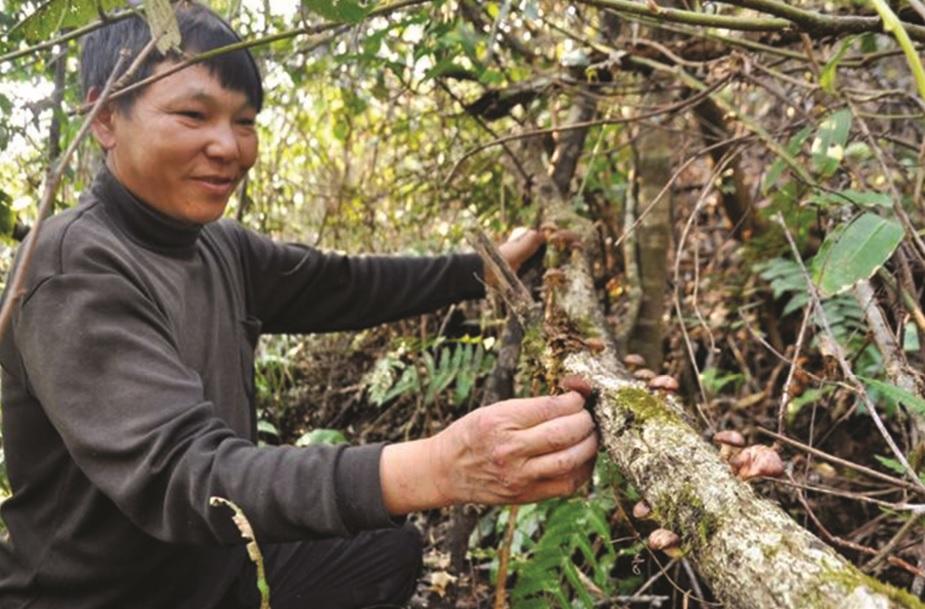 Người Mông hái nấm hương trên rừng. Ảnh: Tuấn Ngọc