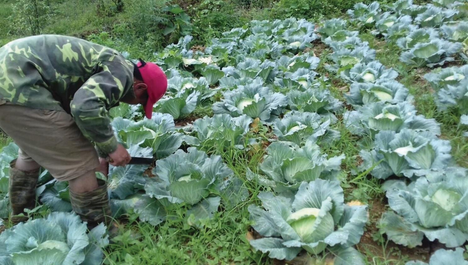 Xã viên của HTX Dịch vụ và Phát triển Nông nghiệp Tam Hòa đang thu hoạch rau sạch.