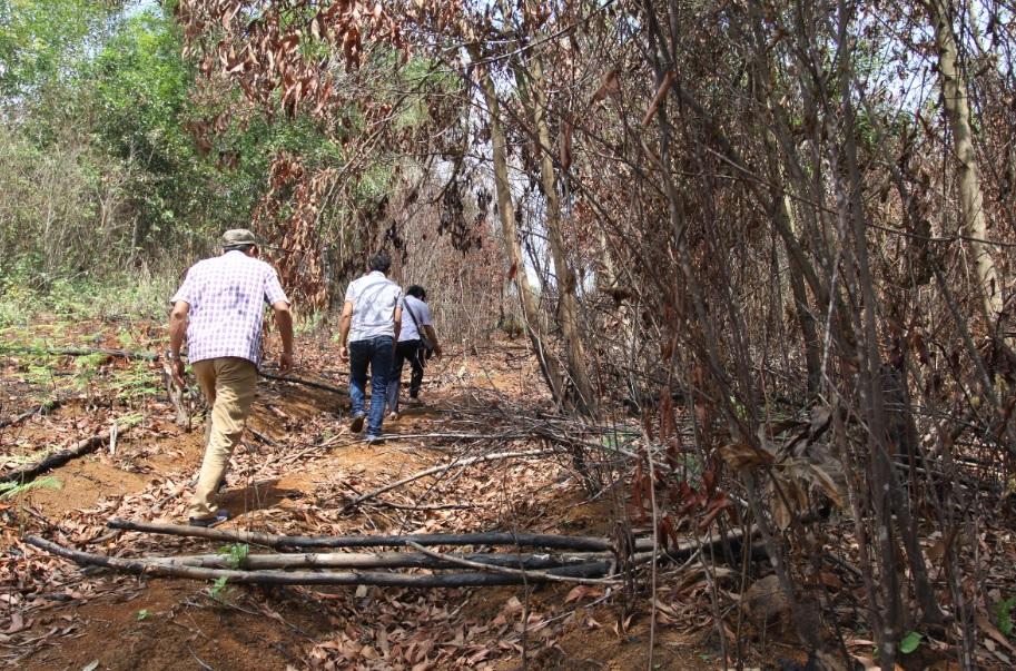 Lối đi xuyên qua vườn keo đã bị đốt chết dẫn sang diện tích keo của gia đình ông Tuấn thuộc khoảnh 2, tiểu khu 1685. (Ảnh chụp ngày 17/4/2019)