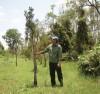 Cây thủy tùng ghép trên cây bụt mọc phát triển tốt.