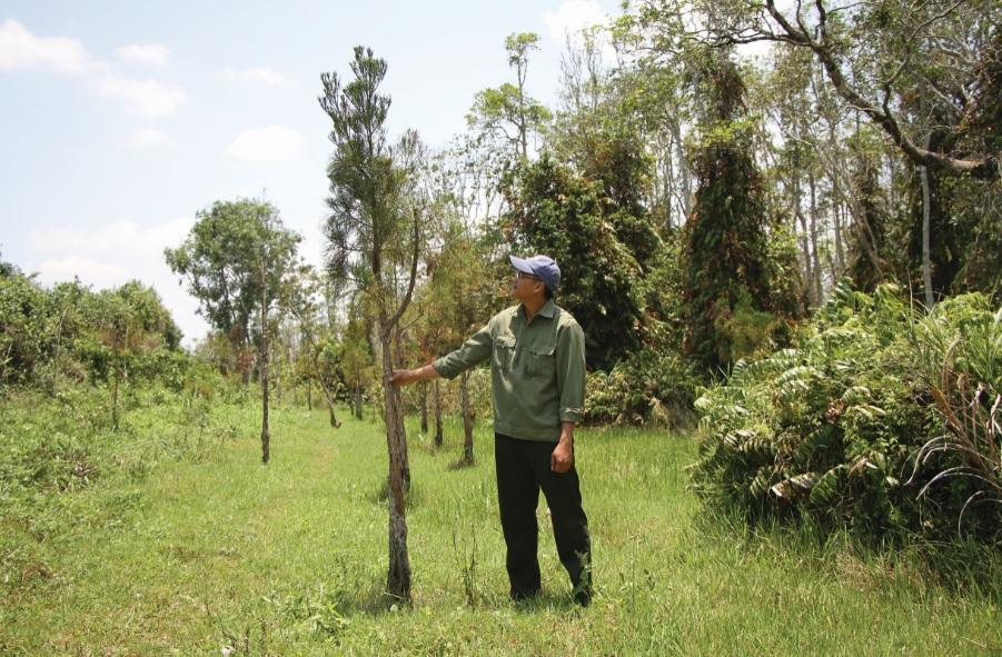Thủy tùng ghép trên cây bụt mọc phát triển tốt.