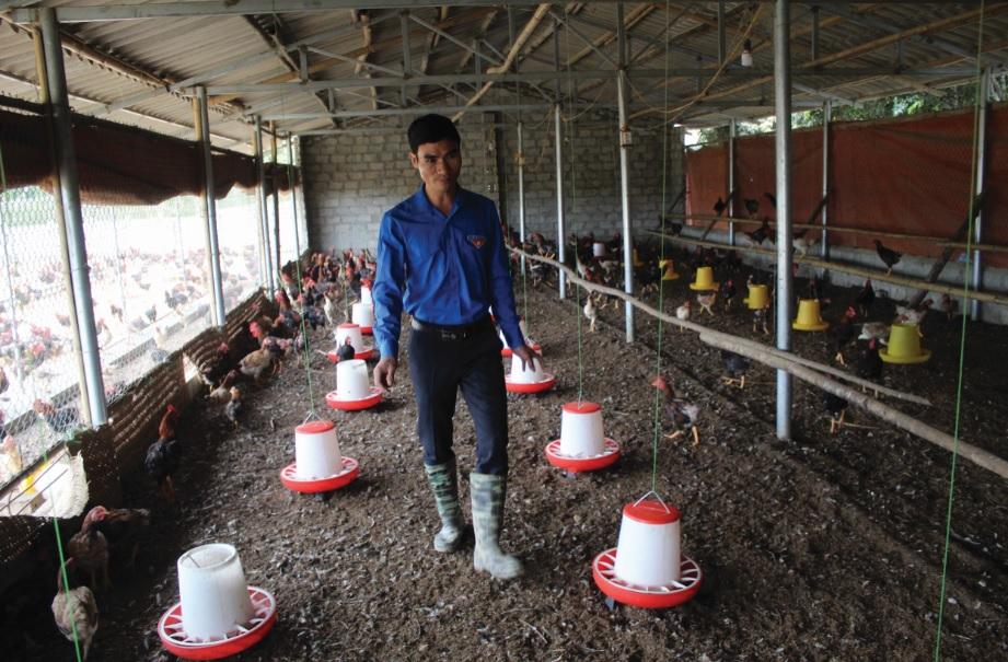 Mô hình chăn nuôi gà sạch theo tiêu chuẩn VietGAP của anh Quách Văn Bộ mang lại hiệu quả kinh tế cao.