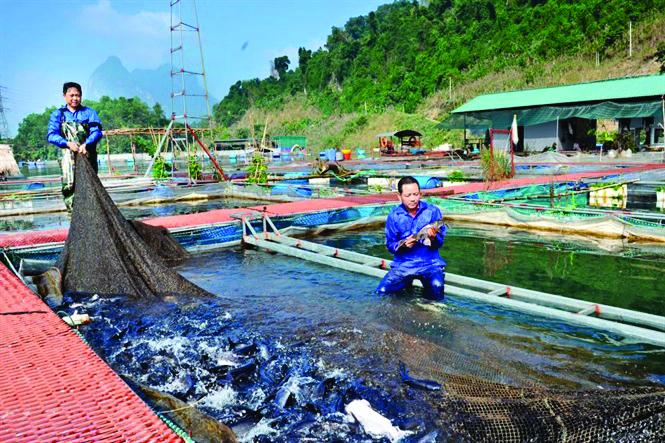 uôi cá lồng theo quy trình VietGAP mang lại hiệu quả kinh tế cao cho các hộ nuôi lồng ở Tuyên Quang. Ảnh TL