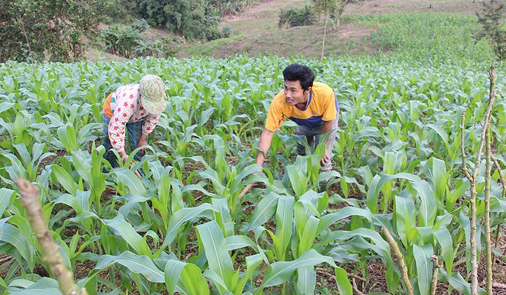 Nhiều mô hình hỗ trợ sản xuất, nâng cao sinh kế cho đồng bào dân tộc thiểu số trên địa bàn tỉnh Thừa Thiên-Huế đạt hiệu quả cao.