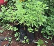 Cây cần sa được trồng tại vườn đối tượng Khoa. Ảnh: Hồng Điệp - TTXVN