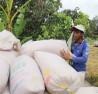 liên kết sản xuất lúa
