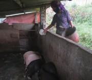 Người dân ở bản Lao Chải 1, xã Khun Há chăn nuôi tăng thu nhập. Người dân ở bản Lao Chải 1, xã Khun Há (Tam Đường, Lai Châu) chăn nuôi tăng thu nhập.