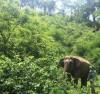 Khôi phục đàn voi nhà